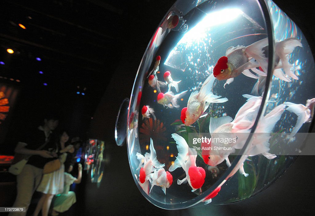 Goldfishes swim in watertanks at the 'Art Aquarium 2013' at Nihombashi Mitsui Hall on July 17, 2013 in Tokyo, Japan. The exhibition started on July 13, will be until September 23.