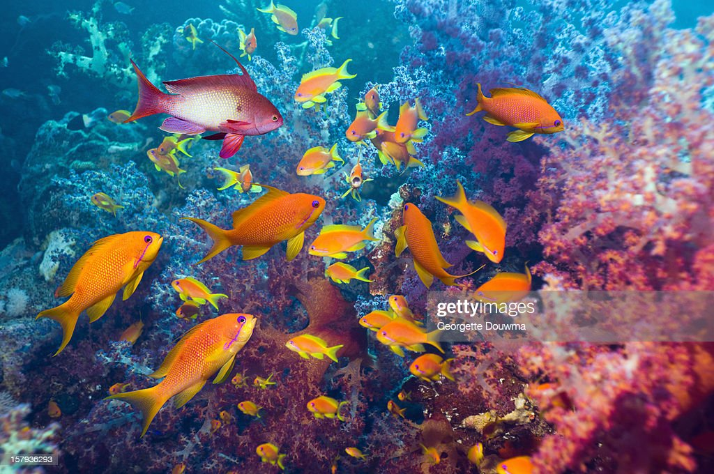 Goldies and soft corals : Stock Photo
