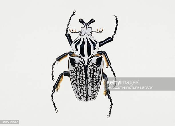 Goliath beetle or African goliath beetle Scarabaeidae Artwork by Rebecca Hardy