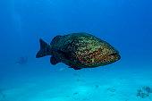Goliath grouper, Epinephelus itajara, Molasses Reef, Key Largo, Florida, USA, Atlantic Ocean