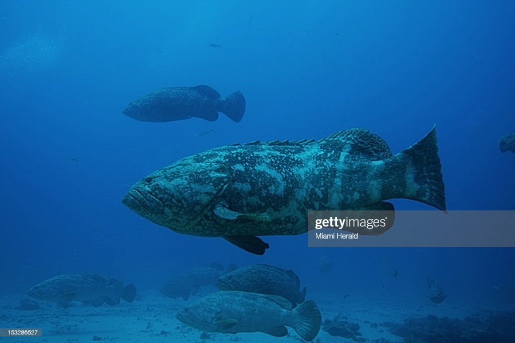 Goliath grouper hover around an artificial reef off Jupiter, Florida during their spawning in September of 2012.