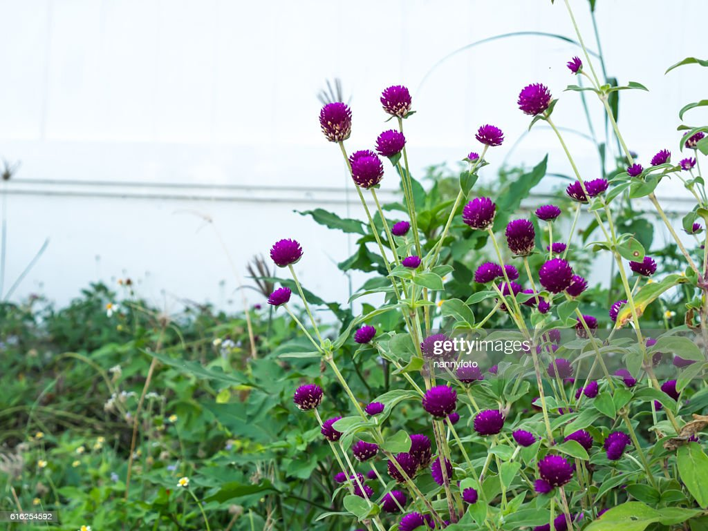 Gomphrena globosa flower : Stock Photo