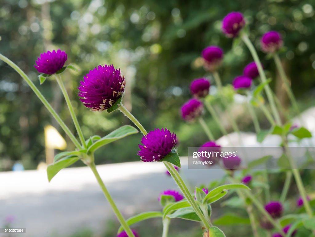 Gomphrena globosa flower : Stock Photo