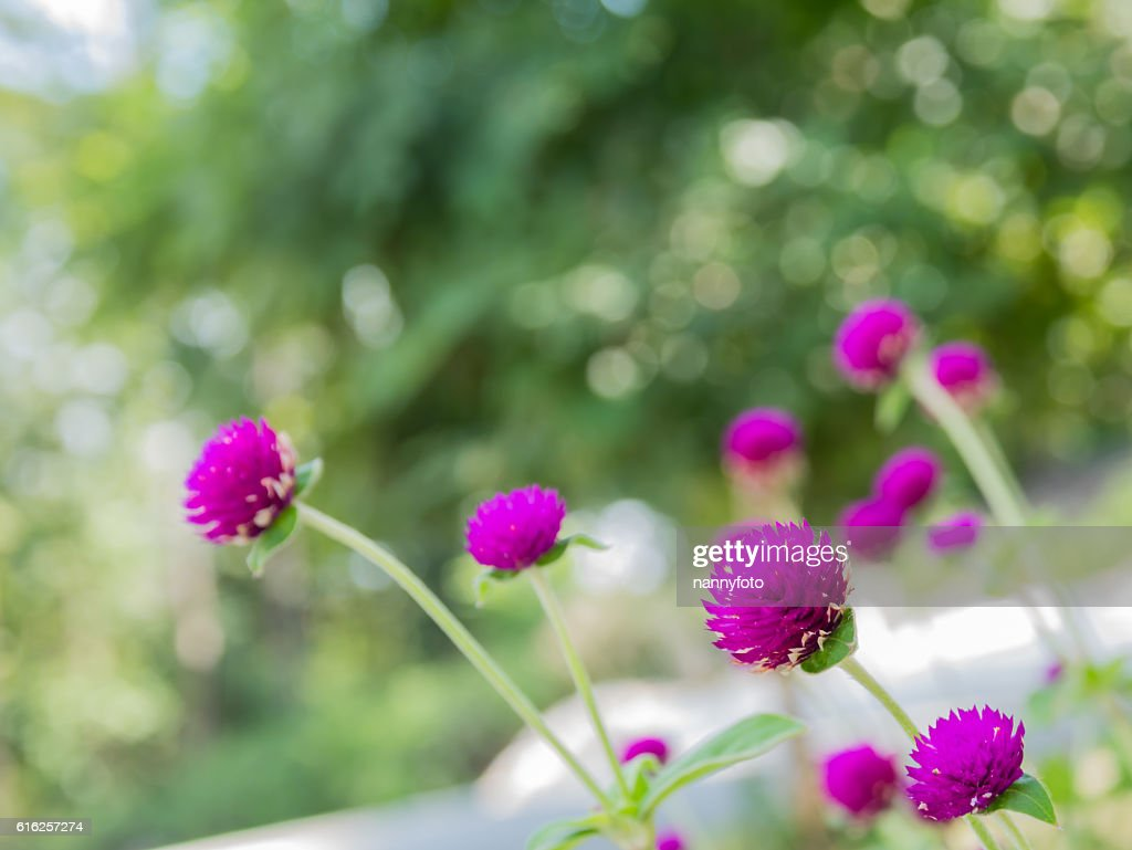 Gomphrena globosa flower : Foto de stock