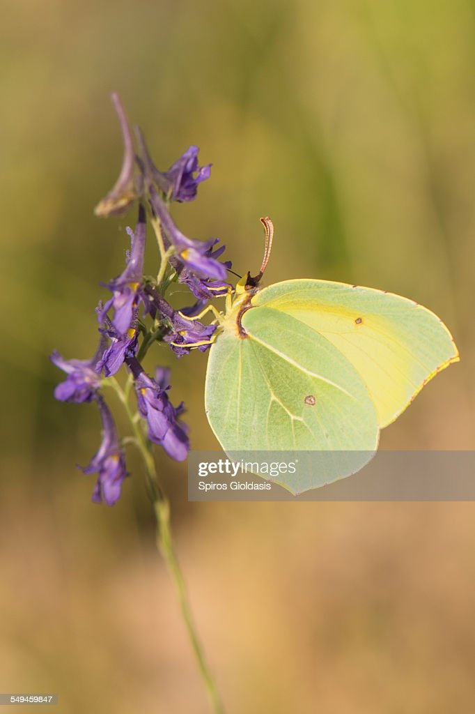Gonepteryx sp. : Stock Photo