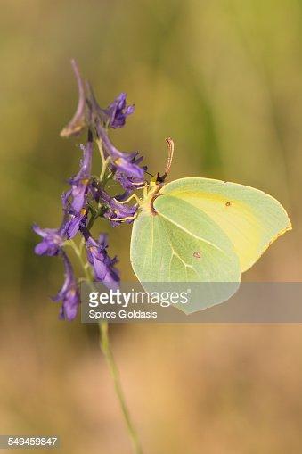 Gonepteryx sp. : Stock Photo