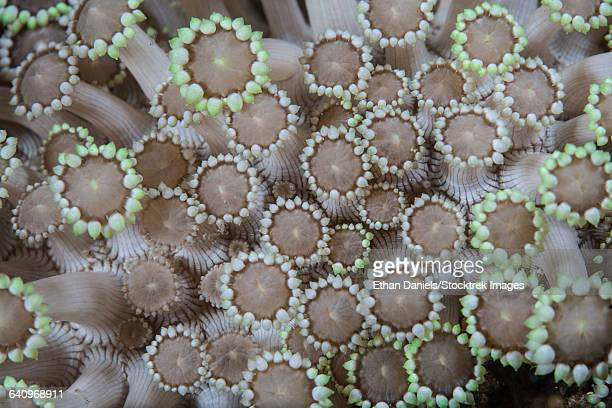 Goniopora coral polyps grow on a reef in Lembeh Strait, Indonesia.
