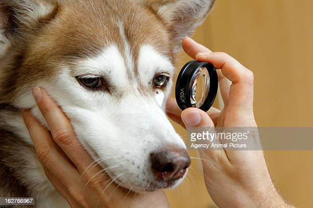 gonioscopy in a Husky on OCTOBER 18 2012 in Nuernberg Germany