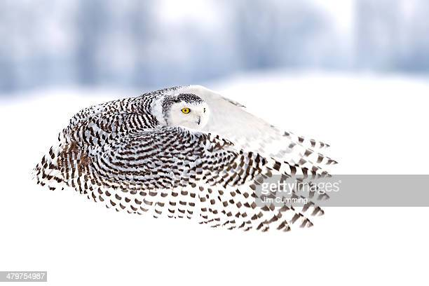 A good day for Snowy owls