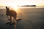 Wallaby on a beach of Cape Hillsborough at sunrise, Queensland in Australia