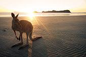 Wallaby on a beach of Cape Hillsborough at sunrise, Queensland in Australia