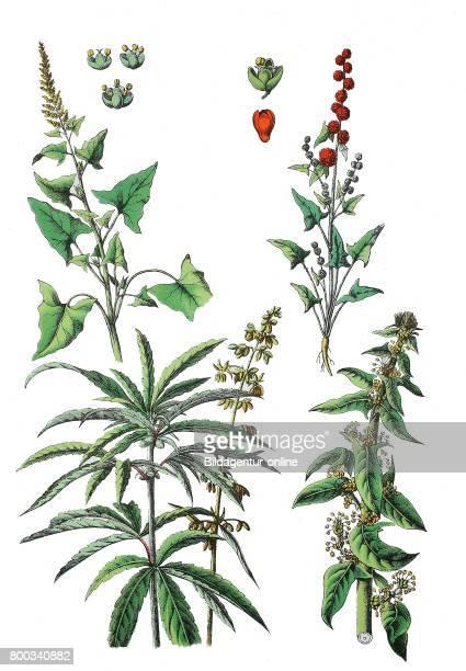 GoodKingHenry Blitum bonushenricus L Rchb Syn Chenopodium bonushenricus L Strawberry blite Blitum capitatum Syn Chenopodium capitatum Cannabis...