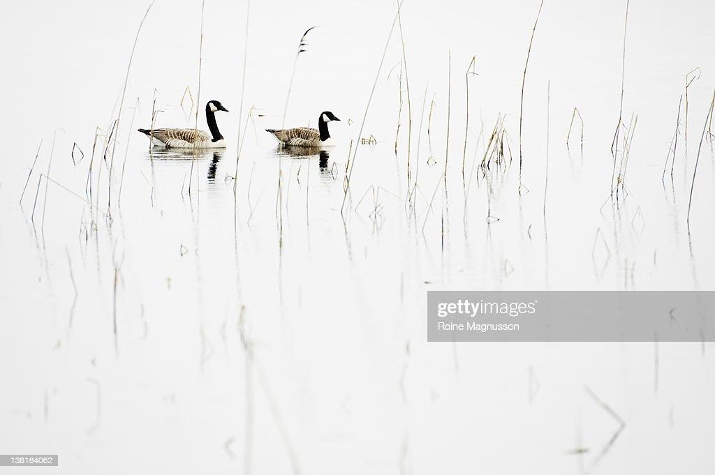 Goose couple in lake, Canada Goose : Stock Photo