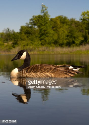 Goose floating down the creek