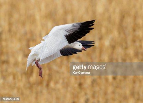 Goose Landing in Corn Field : Stock Photo