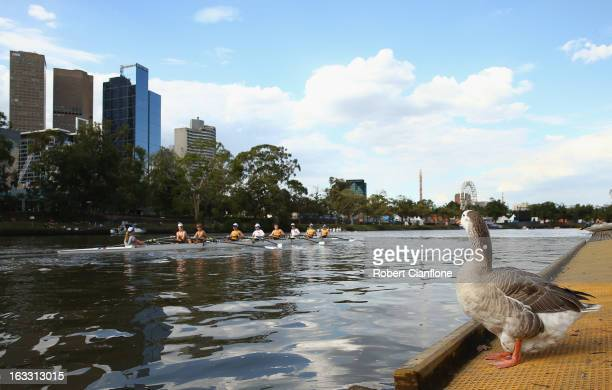 A goose looks on as a boat crew goes by on the Yarra River March 7 2013 in Melbourne Australia Rowing has been held on the Yarra River for over 150...
