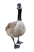 Canada Goose isolated on white with clipping path.