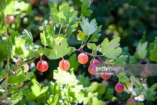 Gooseberries on twig, close-up