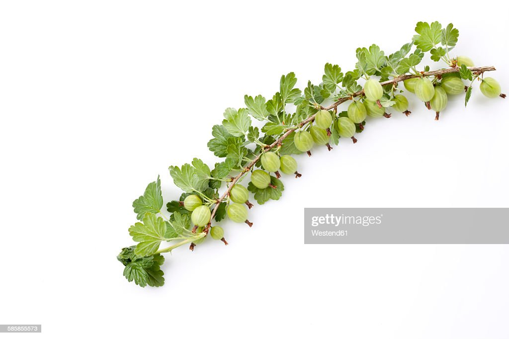 Gooseberry, Ribes uva-crispa, truss : Stock Photo