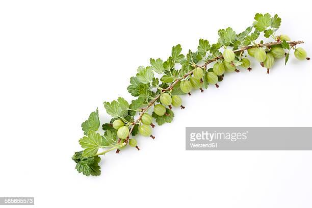 Gooseberry, Ribes uva-crispa, truss