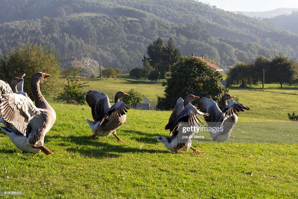 Gooses : Stock Photo