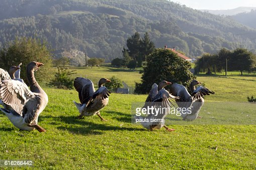 Gooses : Stock Photo