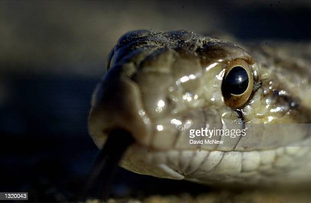 A gopher snake tastes the air with its tongue in the Carrizo Plain National Monument June 1 2001 The snake was looking for food around the burrows of...