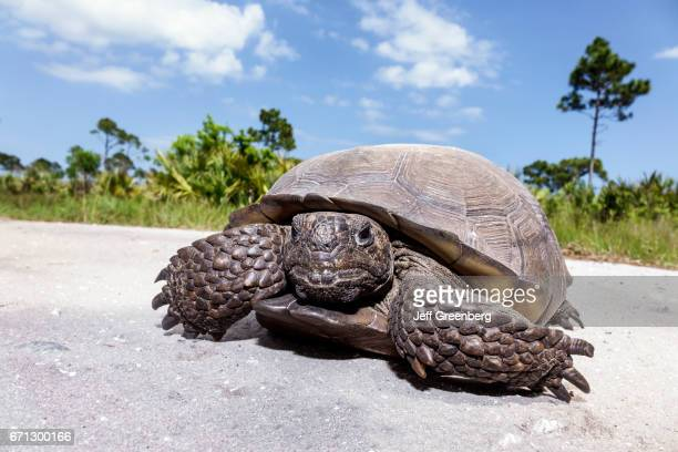 A gopher tortoise at Savannas Preserve State Park