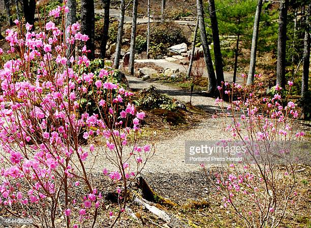 Gordon Chibroski/Staff PhotograpHer May 02 Features of Coastal Maine Botanical Gardens opening soon in Boothbay Harbor Flowering 'Rosy Lights'...
