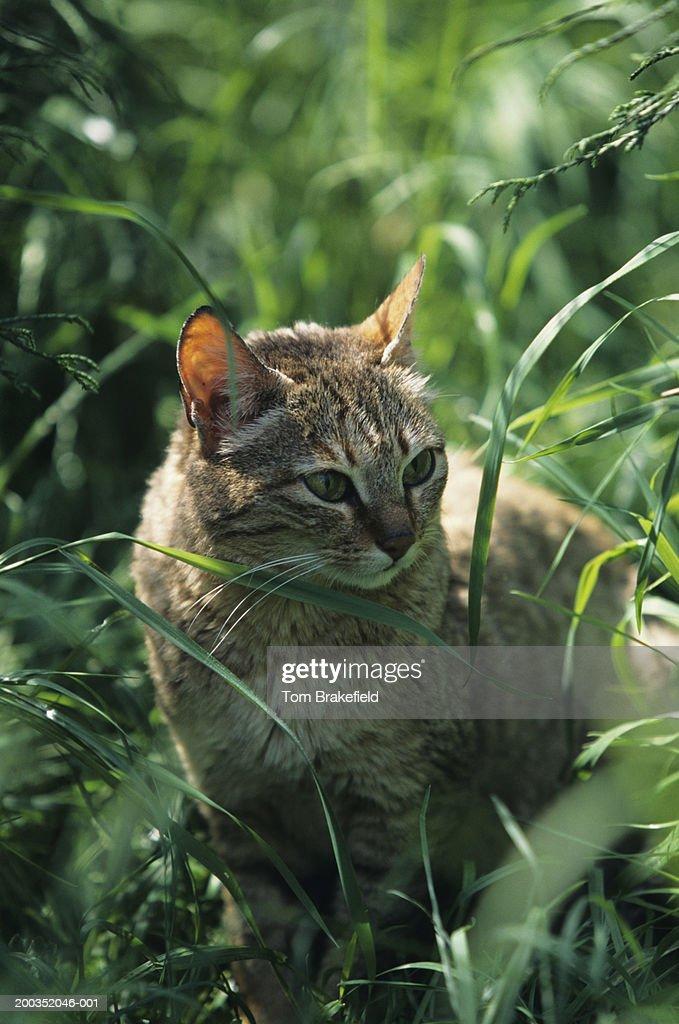 Gordon's cat, Arabian wildcat (Felis silvestris lubica), Asia : Stock Photo