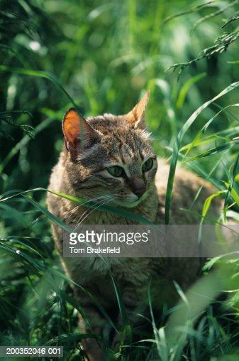 Gordon's cat, Arabian wildcat (Felis silvestris lubica), Asia : Stock-Foto