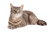 A gorgeous Domestic Shorthair Tabby Cat laying while looking slightly off to the side.
