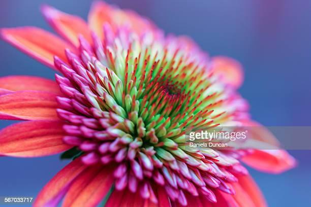 Gorgeous echinacea