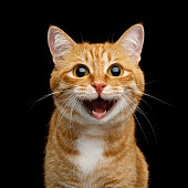 Funny Portrait of Happy Smiling Ginger Cat Gazing with opened Mouth and big eyes on Isolated Black Background