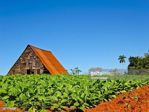 Piantagione di tabacco, Cuba