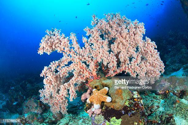 gorgonian and sea star