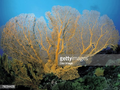 Gorgonian coral : Stock Photo