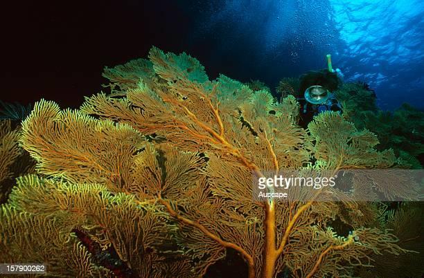 Gorgonian sea fan garden and scuba diver Great Barrier Reef Queensland Australia