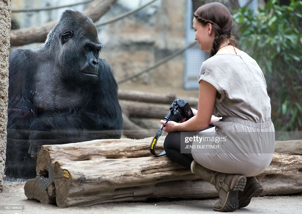Gorilla Assumbo, 38 years old, looks to a visitor on February 20, 2013 at the Darwineum zoo in Rostock, northeastern Germany.