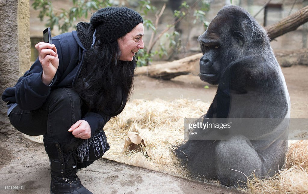Gorilla Assumbo, 38 years old, looks to a visitor on February 20, 2013 at the Darwineum zoo in Rostock, northeastern Germany. AFP PHOTO / JENS BUETTNER GERMANY OUT