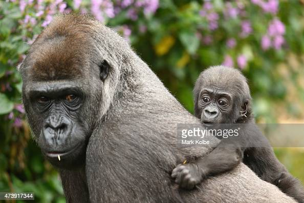 Gorilla baby Mjukuu who was born in 2014 is seen with his mother Mbeli as another yet to be named baby is seen on display at Taronga Zoo on May 19...