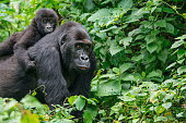 Young Eastern Lowland Gorilla (gorilla beringei graueri) is riding on the back of the mother in the green jungle. Location: Kahuzi Biega National Park, South Kivu, DR Congo, Africa. Shot in wildlife.