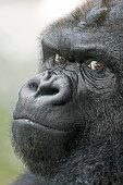 Gorilla face - Cara gorila
