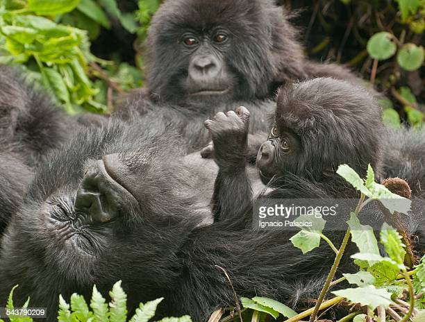 Gorilla family and baby in the Virungas