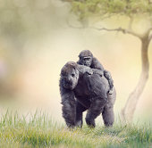 Gorilla Female with Her Baby walking on the grass
