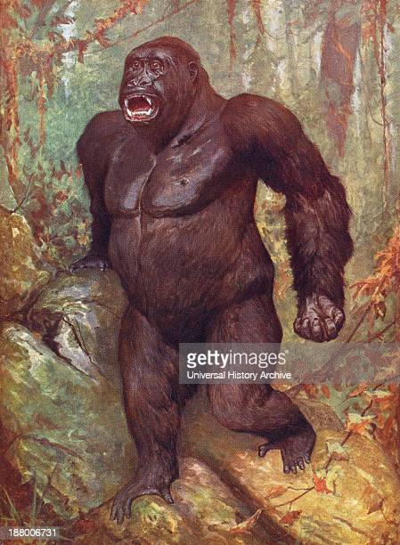 Gorilla From The Living Animals Of The World Published C1900