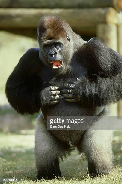gorilla, gorilla gorilla, silverback male signing, miami metrozoo, usa