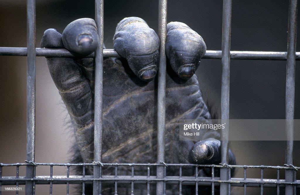 Gorilla hand behind bars