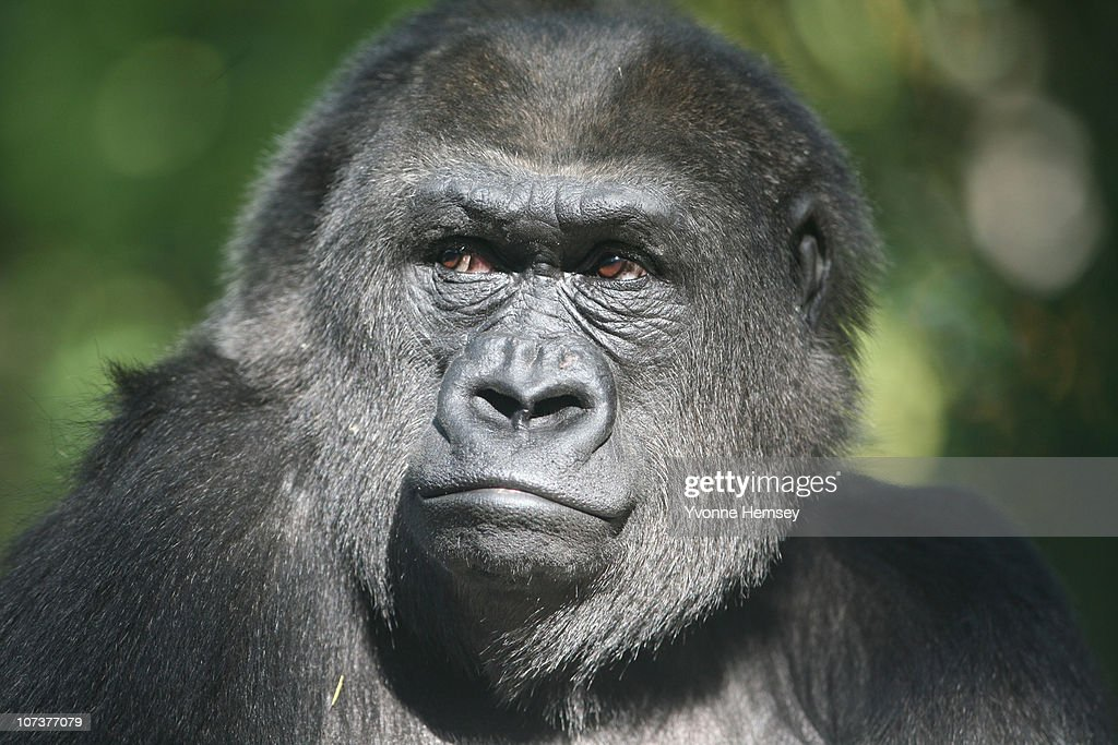 A gorilla is seen at the Bronx Zoo's Congo Gorilla Forest Exhibit October 17, 2010 in the Bronx borough of New York City.