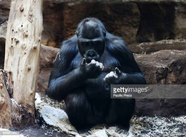 A gorilla is seen at the Warsaw Zoo